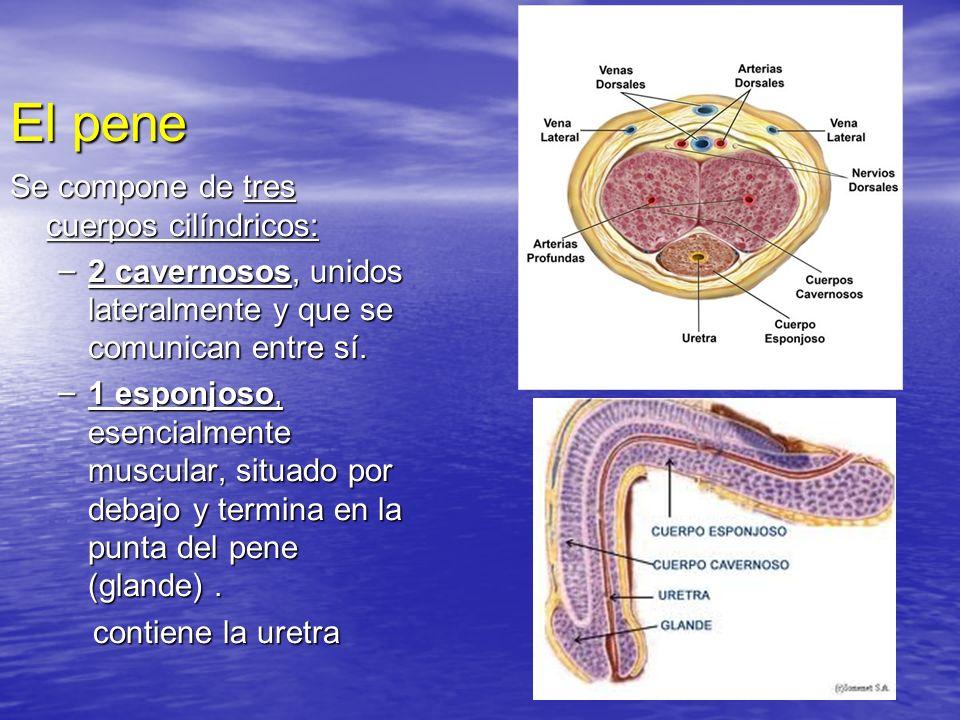 El pene Se compone de tres cuerpos cilíndricos: – 2 cavernosos, unidos lateralmente y que se comunican entre sí. – 1 esponjoso, esencialmente muscular