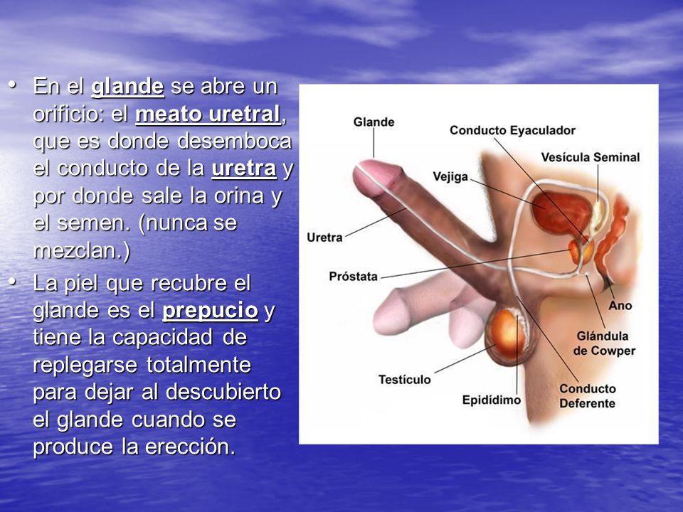 En el glande se abre un orificio: el meato uretral, que es donde desemboca el conducto de la uretra y por donde sale la orina y el semen. (nunca se me