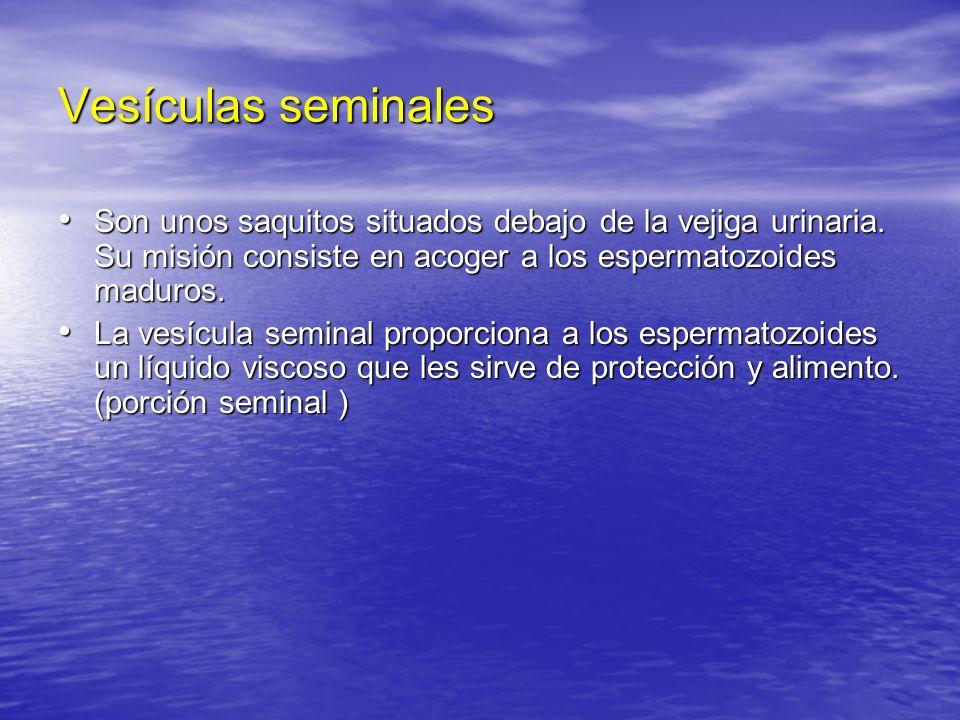 Vesículas seminales Son unos saquitos situados debajo de la vejiga urinaria. Su misión consiste en acoger a los espermatozoides maduros. Son unos saqu