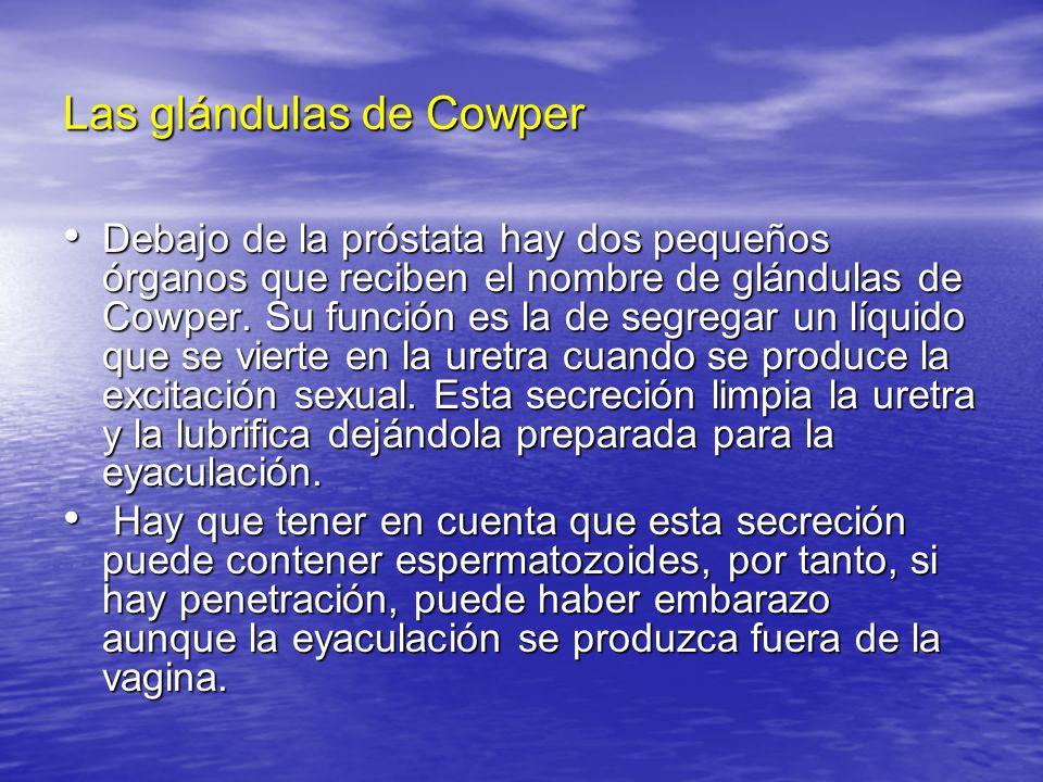 Las glándulas de Cowper Debajo de la próstata hay dos pequeños órganos que reciben el nombre de glándulas de Cowper. Su función es la de segregar un l