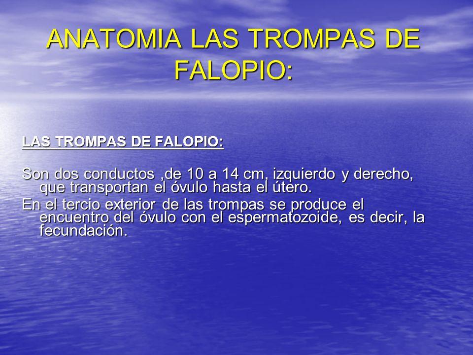 ANATOMIA LAS TROMPAS DE FALOPIO: LAS TROMPAS DE FALOPIO: Son dos conductos,de 10 a 14 cm, izquierdo y derecho, que transportan el óvulo hasta el útero