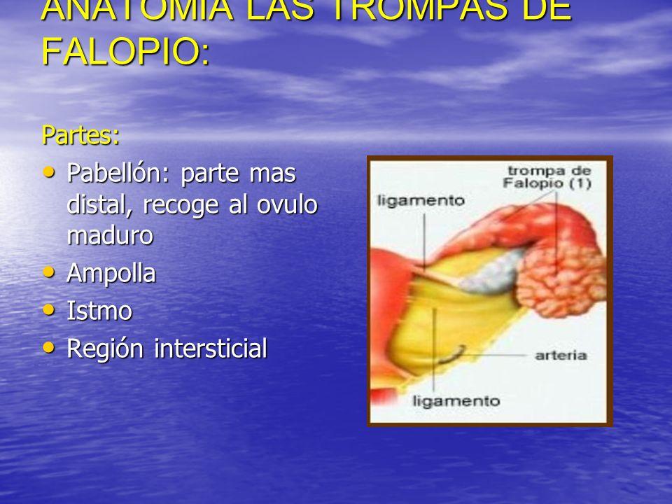 ANATOMIA LAS TROMPAS DE FALOPIO: Partes: Pabellón: parte mas distal, recoge al ovulo maduro Pabellón: parte mas distal, recoge al ovulo maduro Ampolla