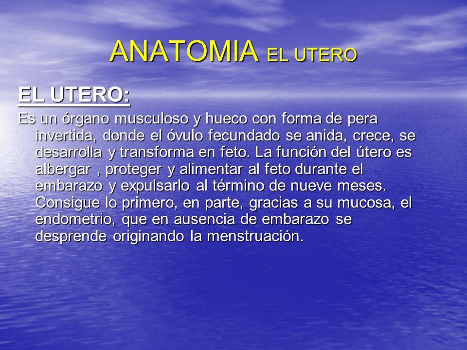 ANATOMIA EL UTERO EL UTERO: Es un órgano musculoso y hueco con forma de pera invertida, donde el óvulo fecundado se anida, crece, se desarrolla y tran