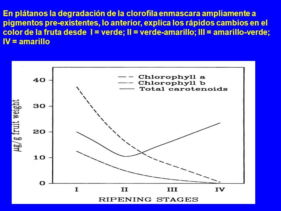 En plátanos la degradación de la clorofila enmascara ampliamente a pigmentos pre-existentes, lo anterior, explica los rápidos cambios en el color de l