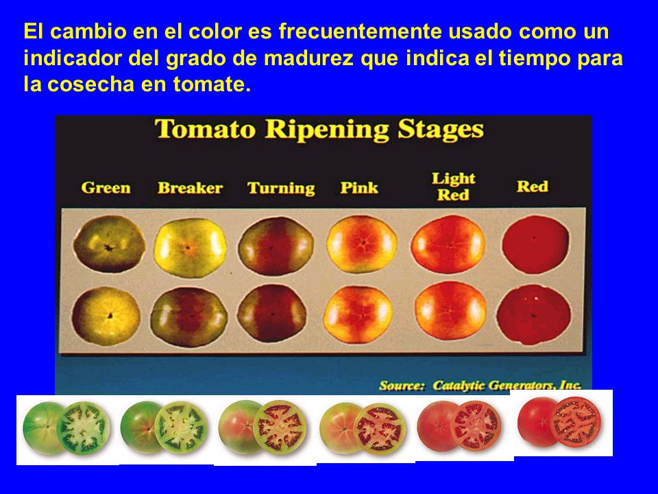 El cambio en el color es frecuentemente usado como un indicador del grado de madurez que indica el tiempo para la cosecha en tomate.