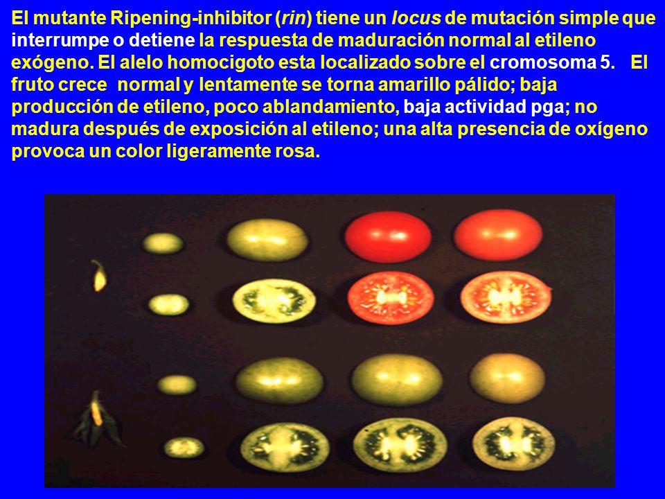 El mutante Ripening-inhibitor (rin) tiene un locus de mutación simple que interrumpe o detiene la respuesta de maduración normal al etileno exógeno. E