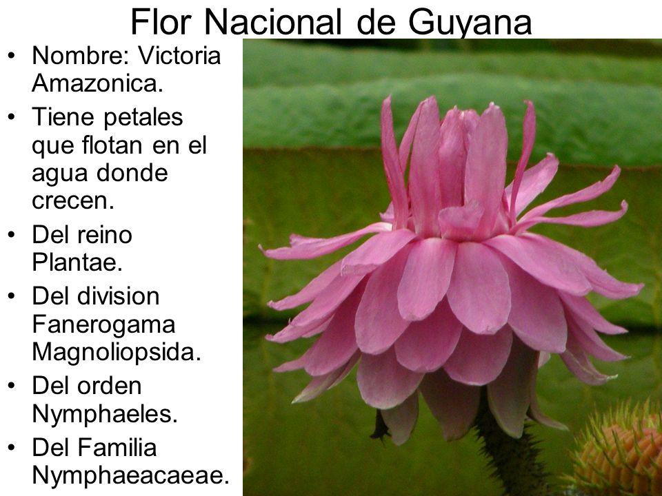 Nombre: Victoria Amazonica. Tiene petales que flotan en el agua donde crecen. Del reino Plantae. Del division Fanerogama Magnoliopsida. Del orden Nymp