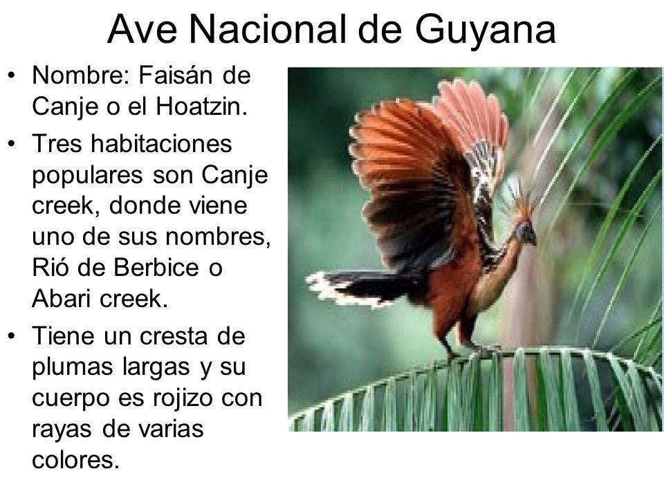 Ave Nacional de Guyana Nombre: Faisán de Canje o el Hoatzin. Tres habitaciones populares son Canje creek, donde viene uno de sus nombres, Rió de Berbi