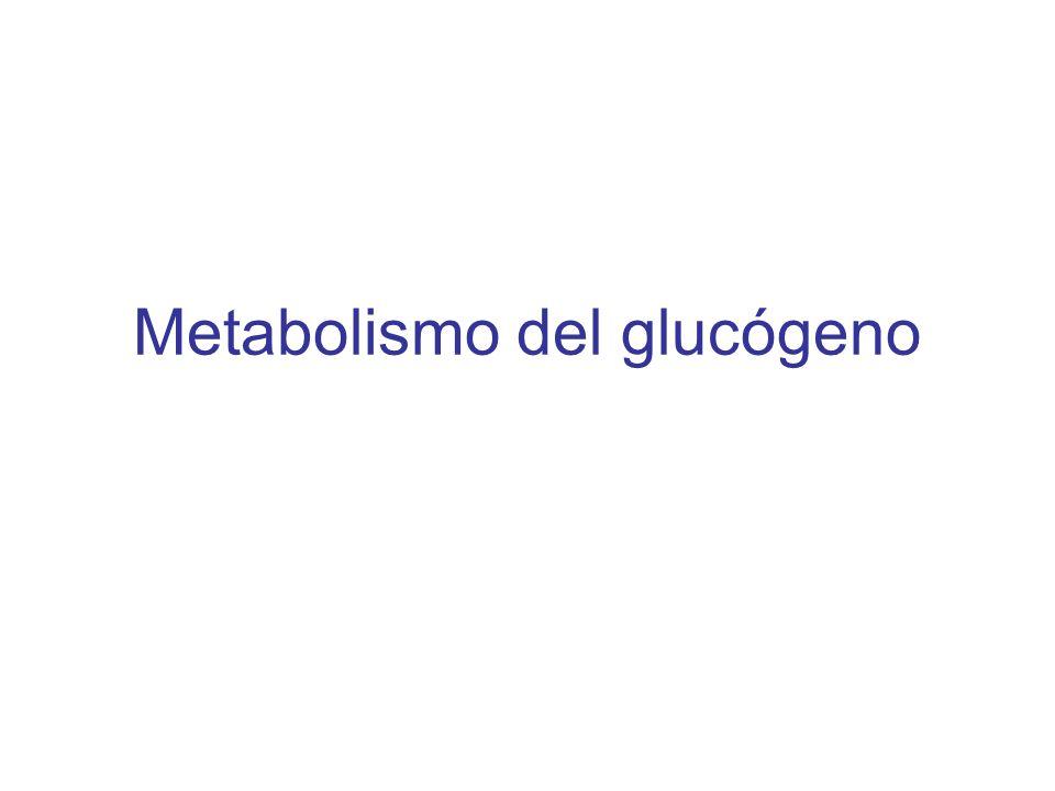 El glucógeno representa la principal forma de almacenamiento de carbohidratos en animales.