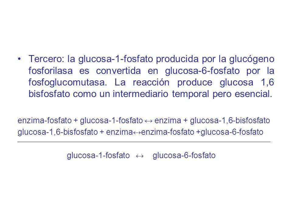 Tercero: la glucosa-1-fosfato producida por la glucógeno fosforilasa es convertida en glucosa-6-fosfato por la fosfoglucomutasa. La reacción produce g