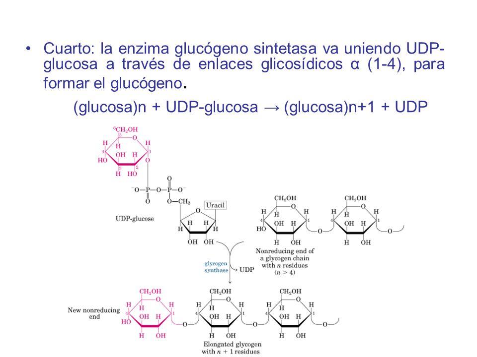 Cuarto: la enzima glucógeno sintetasa va uniendo UDP- glucosa a través de enlaces glicosídicos α (1-4), para formar el glucógeno. (glucosa)n + UDP-glu