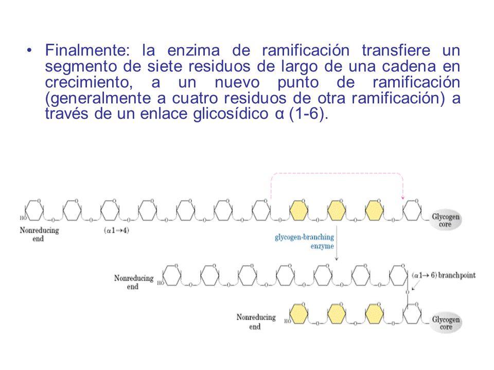 Finalmente: la enzima de ramificación transfiere un segmento de siete residuos de largo de una cadena en crecimiento, a un nuevo punto de ramificación