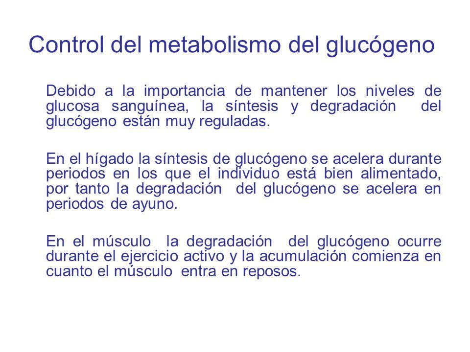 Control del metabolismo del glucógeno Debido a la importancia de mantener los niveles de glucosa sanguínea, la síntesis y degradación del glucógeno es
