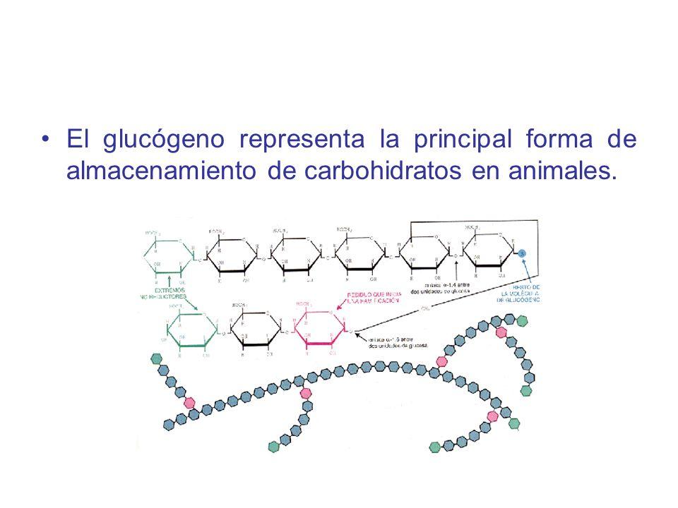 1.1.- Regulación de la síntesis de glucógeno y la degradación en estado de buena alimentación En el estado de buena alimentación, la glucógeno sintasa es activada alostericamente por glucosa-6- fosfato cuando está presente en concentraciones elevadas.