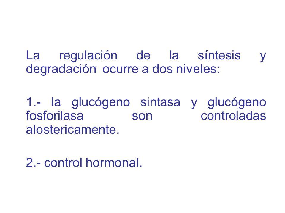 La regulación de la síntesis y degradación ocurre a dos niveles: 1.- la glucógeno sintasa y glucógeno fosforilasa son controladas alostericamente. 2.-
