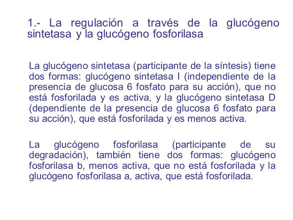 La glucógeno sintetasa (participante de la síntesis) tiene dos formas: glucógeno sintetasa I (independiente de la presencia de glucosa 6 fosfato para