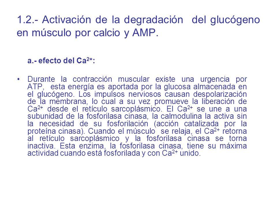 1.2.- Activación de la degradación del glucógeno en músculo por calcio y AMP. a.- efecto del Ca 2+ : Durante la contracción muscular existe una urgenc