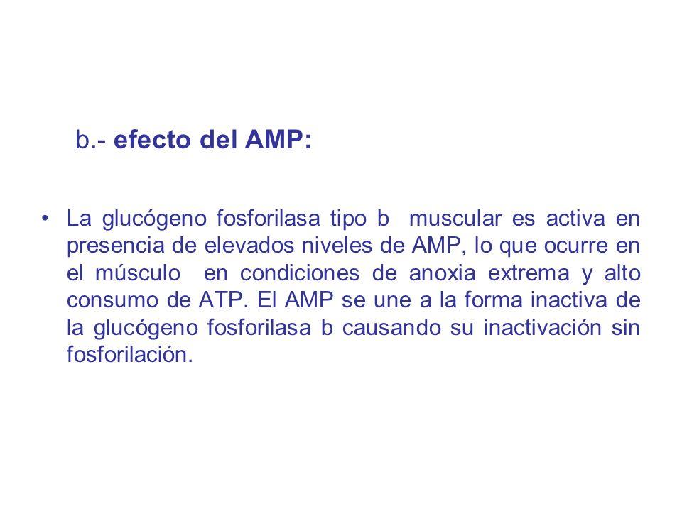 b.- efecto del AMP: La glucógeno fosforilasa tipo b muscular es activa en presencia de elevados niveles de AMP, lo que ocurre en el músculo en condici