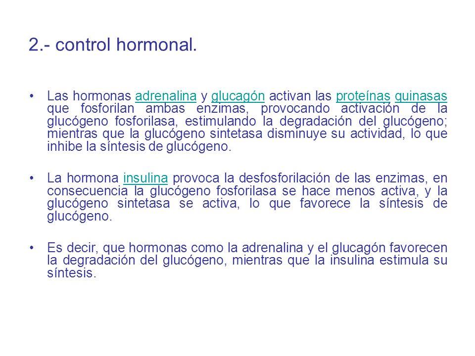 2.- control hormonal. Las hormonas adrenalina y glucagón activan las proteínas quinasas que fosforilan ambas enzimas, provocando activación de la gluc