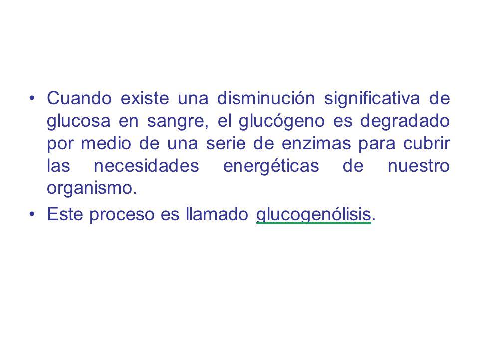 Cuando existe una disminución significativa de glucosa en sangre, el glucógeno es degradado por medio de una serie de enzimas para cubrir las necesida