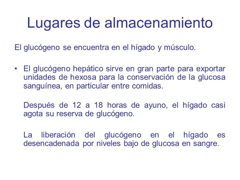 Lugares de almacenamiento El glucógeno se encuentra en el hígado y músculo. El glucógeno hepático sirve en gran parte para exportar unidades de hexosa