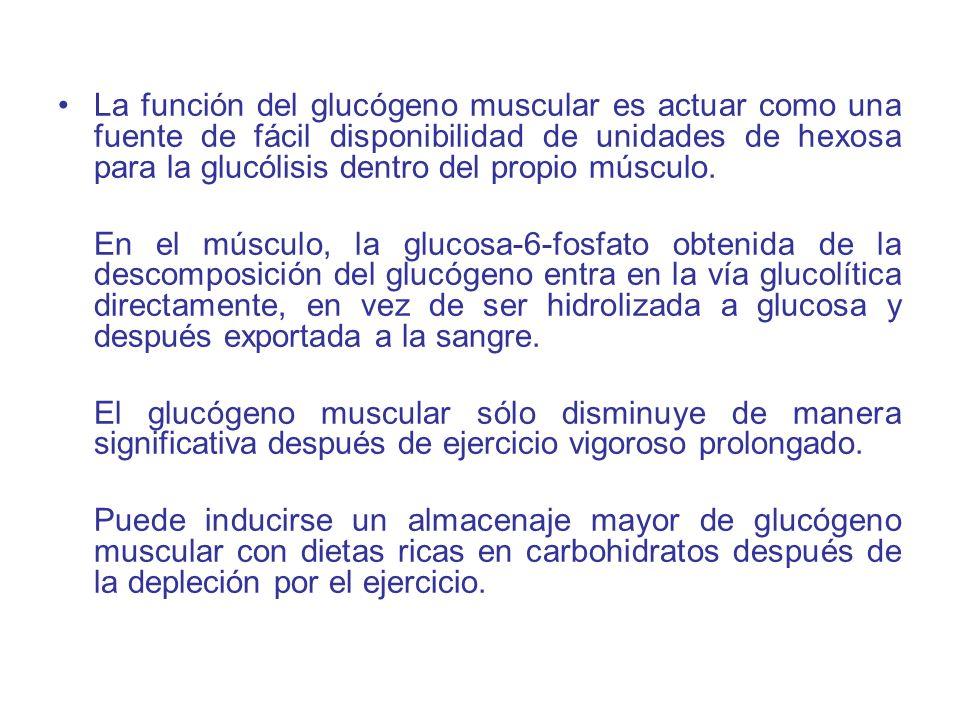 La función del glucógeno muscular es actuar como una fuente de fácil disponibilidad de unidades de hexosa para la glucólisis dentro del propio músculo