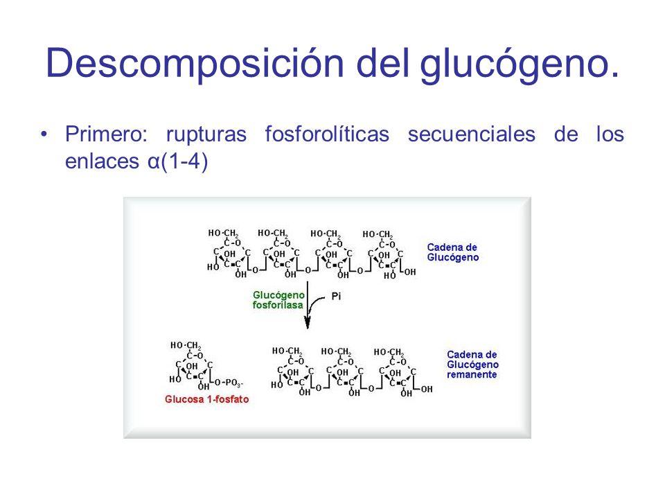 La glucógeno fosforilasa rompe los enlaces glucosídicos α(1-4) entre los residuos que están en los extremos no reductores por simple fosforólisis.