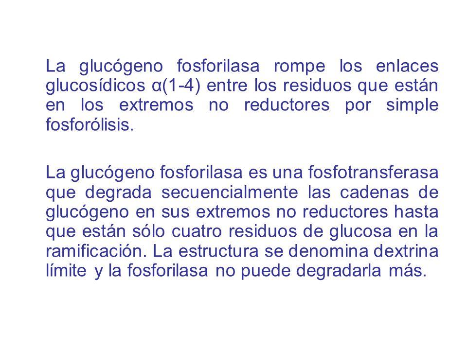 Una proteína glicogenina es la que une la primera molécula de glucosa.