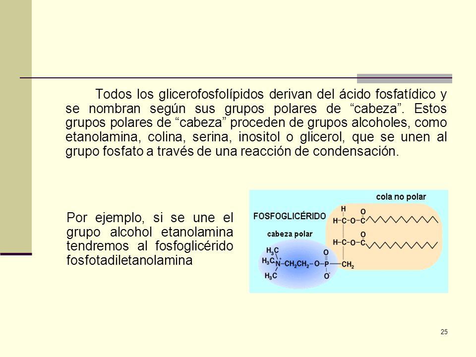 25 Todos los glicerofosfolípidos derivan del ácido fosfatídico y se nombran según sus grupos polares de cabeza. Estos grupos polares de cabeza procede