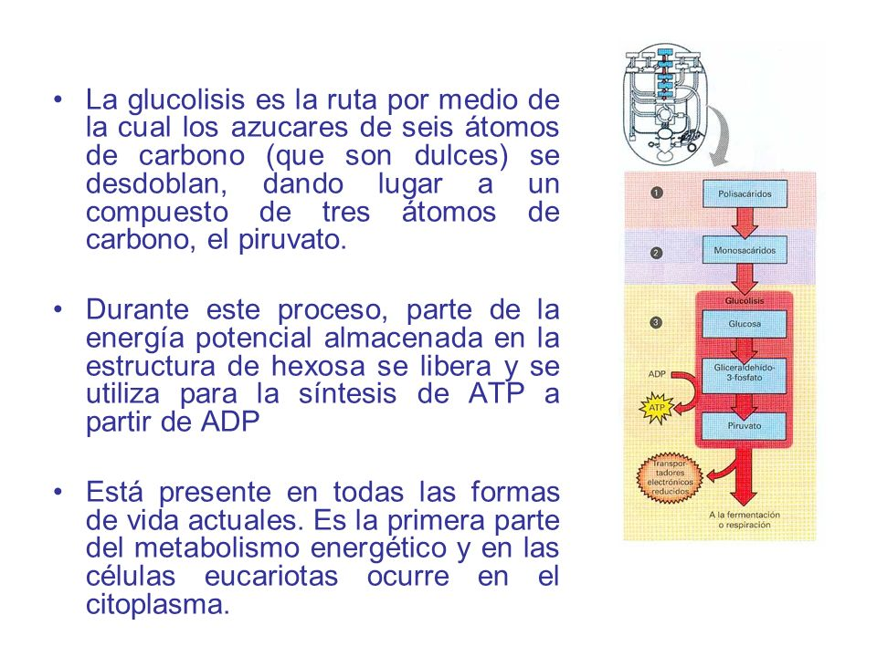 La glucolisis es la ruta por medio de la cual los azucares de seis átomos de carbono (que son dulces) se desdoblan, dando lugar a un compuesto de tres