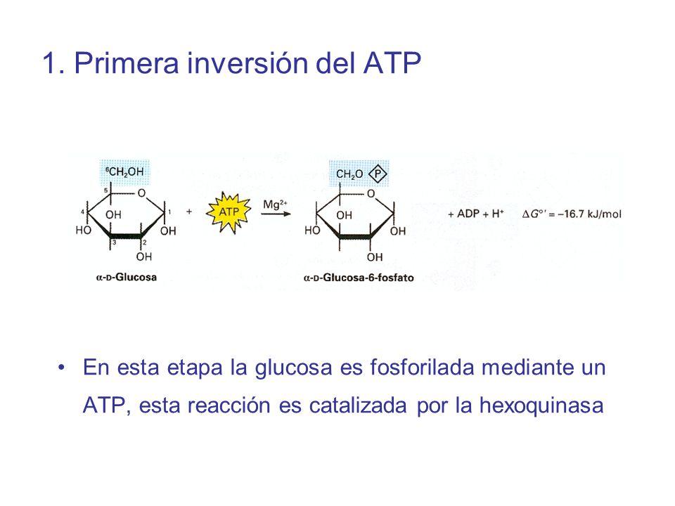1. Primera inversión del ATP En esta etapa la glucosa es fosforilada mediante un ATP, esta reacción es catalizada por la hexoquinasa