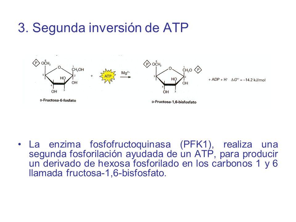 3. Segunda inversión de ATP La enzima fosfofructoquinasa (PFK1), realiza una segunda fosforilación ayudada de un ATP, para producir un derivado de hex