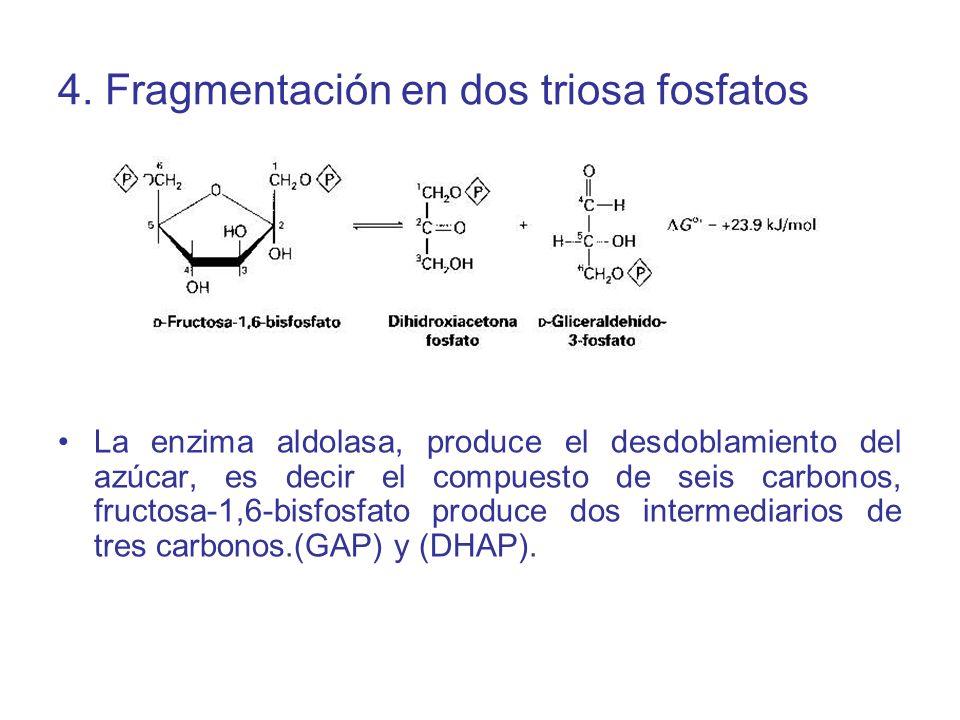 4. Fragmentación en dos triosa fosfatos La enzima aldolasa, produce el desdoblamiento del azúcar, es decir el compuesto de seis carbonos, fructosa-1,6