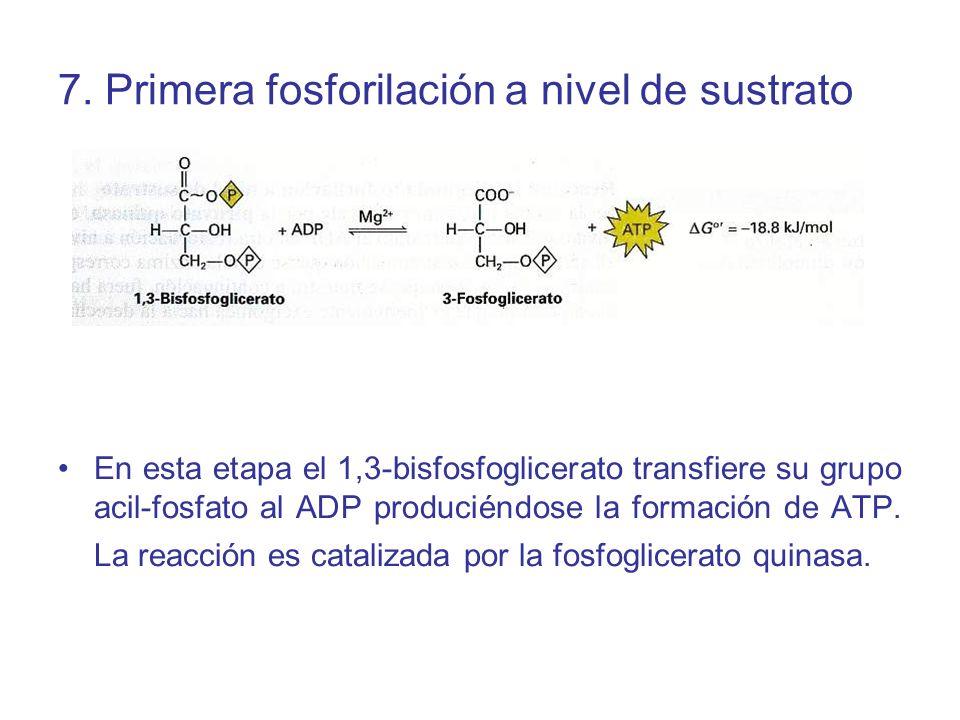 7. Primera fosforilación a nivel de sustrato En esta etapa el 1,3-bisfosfoglicerato transfiere su grupo acil-fosfato al ADP produciéndose la formación