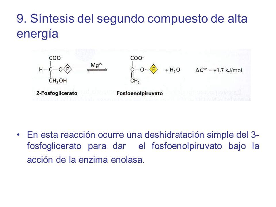 9. Síntesis del segundo compuesto de alta energía En esta reacción ocurre una deshidratación simple del 3- fosfoglicerato para dar el fosfoenolpiruvat