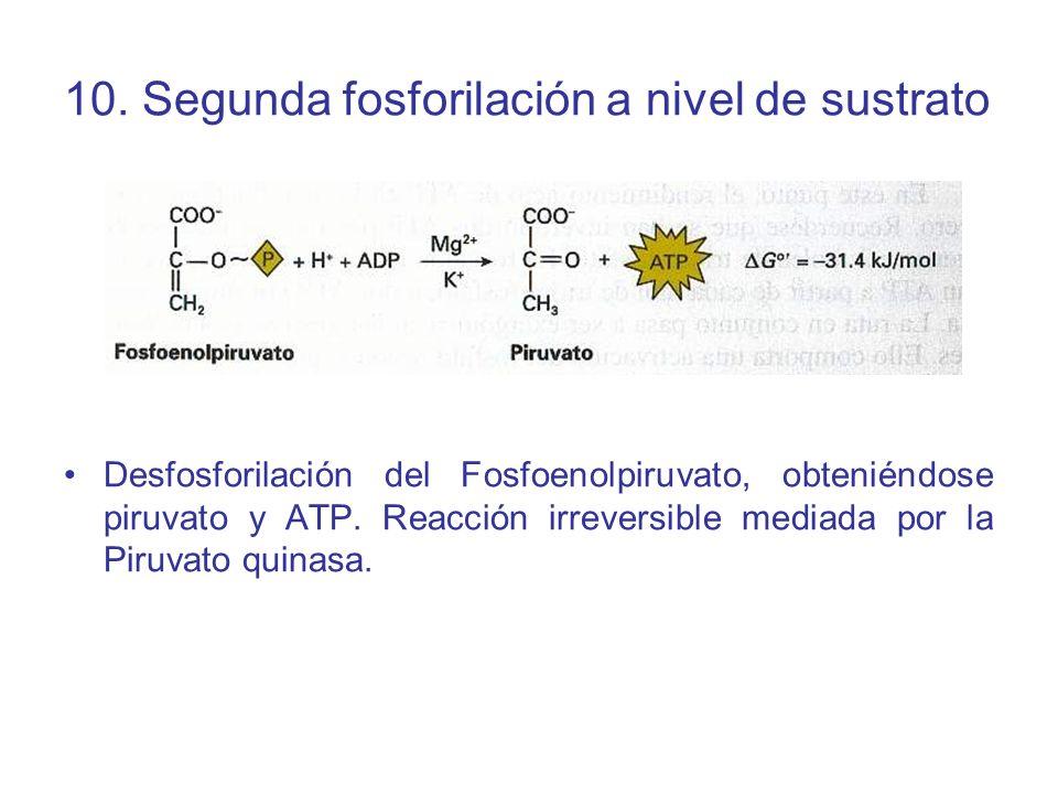 10. Segunda fosforilación a nivel de sustrato Desfosforilación del Fosfoenolpiruvato, obteniéndose piruvato y ATP. Reacción irreversible mediada por l