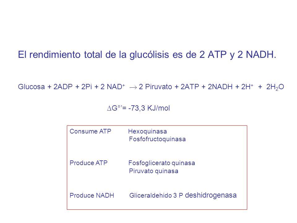 El rendimiento total de la glucólisis es de 2 ATP y 2 NADH. Glucosa + 2ADP + 2Pi + 2 NAD + 2 Piruvato + 2ATP + 2NADH + 2H + + 2H 2 O G°= -73,3 KJ/mol