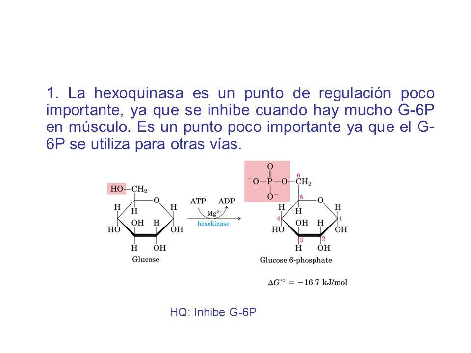 1. La hexoquinasa es un punto de regulación poco importante, ya que se inhibe cuando hay mucho G-6P en músculo. Es un punto poco importante ya que el
