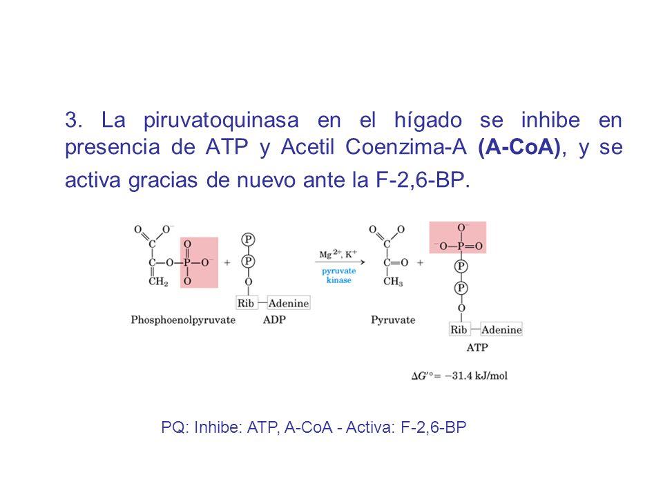 3. La piruvatoquinasa en el hígado se inhibe en presencia de ATP y Acetil Coenzima-A (A-CoA), y se activa gracias de nuevo ante la F-2,6-BP. PQ: Inhib