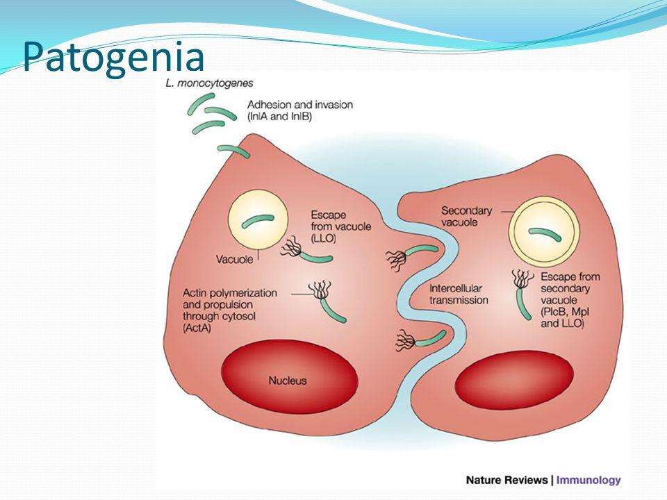 Factores de virulencia Listeriolisina O (β-hemolisina) Neumolisina toxina es lábil al oxígeno LPS (listerial) Altera la vacuola fagocítica