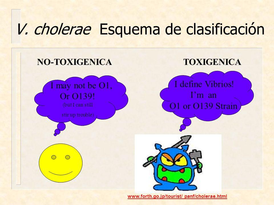 V. cholerae Esquema de clasificación I define Vibrios! Im an O1 or O139 Strain www.forth.go.jp/tourist/ panf/cholerae.html NO-TOXIGENICATOXIGENICA I m