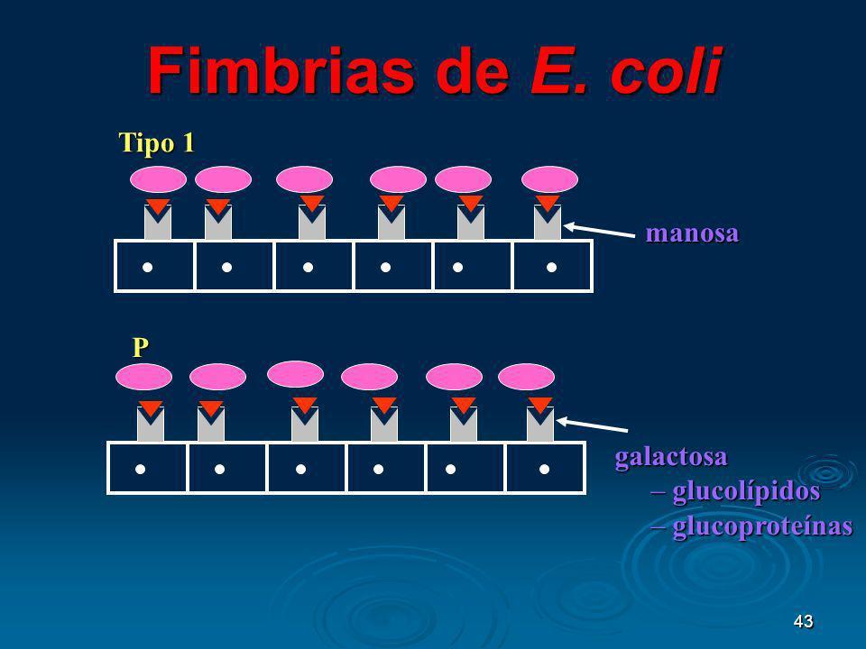 43 Fimbrias de E. coli manosa Tipo 1 galactosa galactosa – glucolípidos – glucoproteínas P