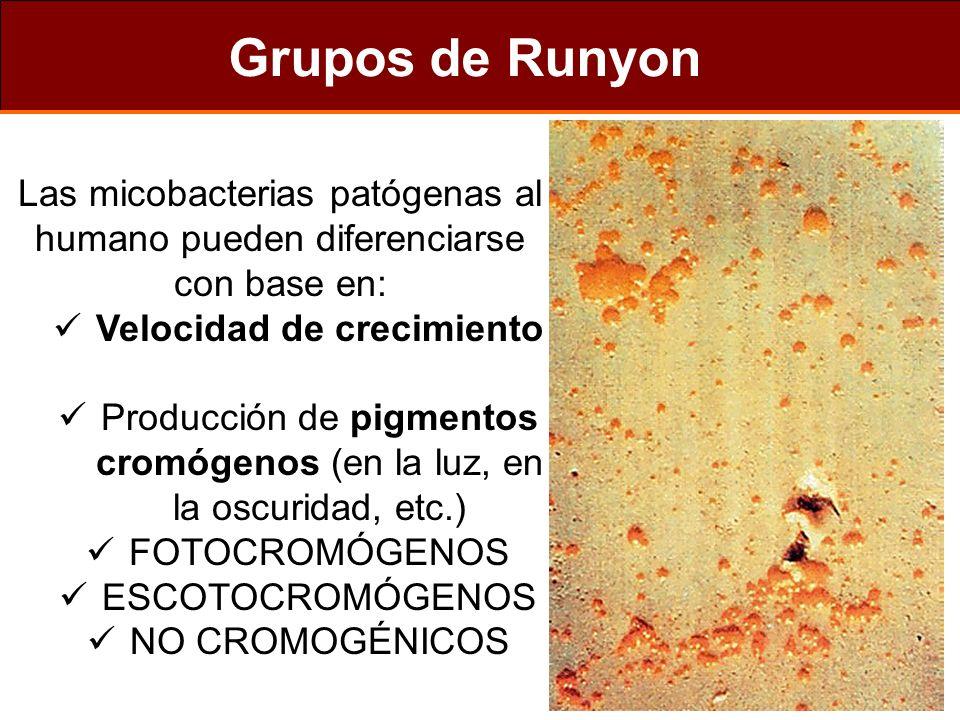 Características tipos de LEPRA TuberculoideLepromatosa Organismos en lesión Organismos en nariz Cel.epiteloides en lesiones Linfocitos en lesiones Reacción lepromina (Mitsuda) Anticuerpos anti-M.leprae Respuesta al tratamiento - ++ + Buena +++ + - - ++ Pobre