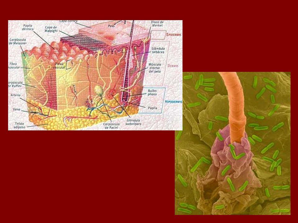 Microorganismos residentes: Bacilos difteroides aerobios y anaerobios Estafilococos aerobios y anaerobios no hemolíticos Bacilos Gram positivo aerobios Estreptococos alfa-hemolíticos y enterococos Bacilos coliformes Gram(-) Hongos y levaduras en los pliegues cutáneos Micobacterias no patógenas en áreas ricas en secreción sebácea.