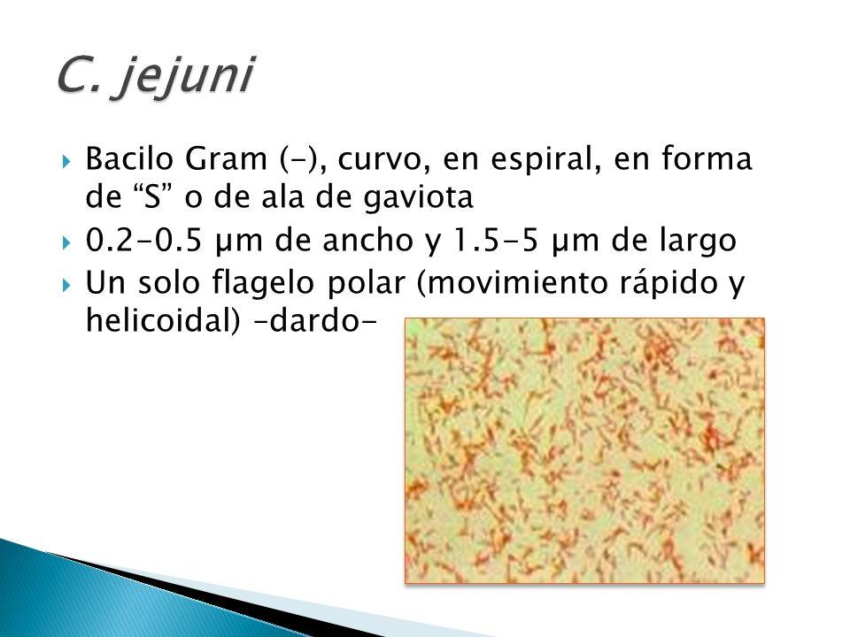 Bacilo Gram (-), curvo, en espiral, en forma de S o de ala de gaviota 0.2-0.5 µm de ancho y 1.5-5 µm de largo Un solo flagelo polar (movimiento rápido