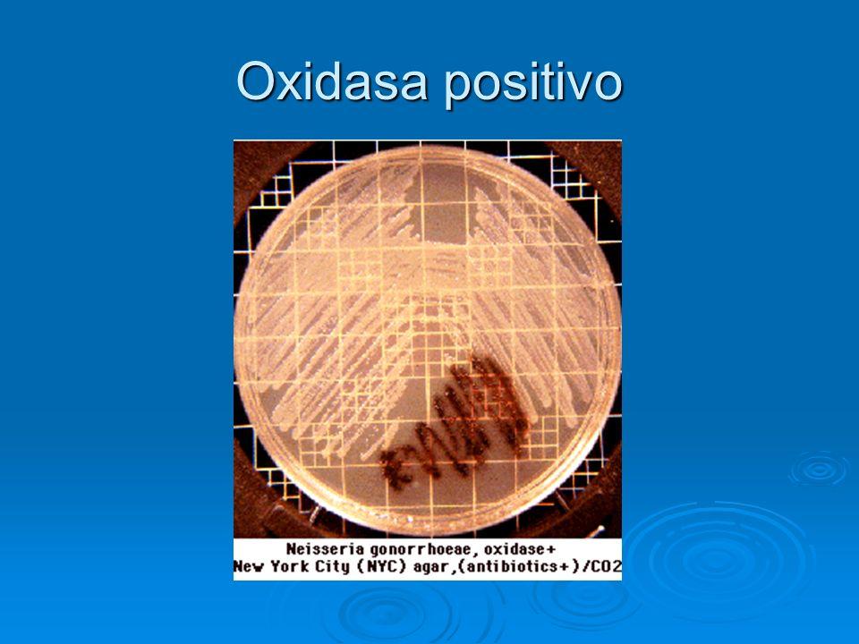 Oxidasa positivo