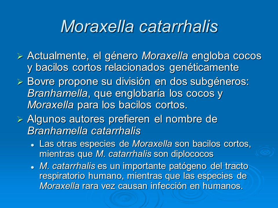 Moraxella catarrhalis Actualmente, el género Moraxella engloba cocos y bacilos cortos relacionados genéticamente Actualmente, el género Moraxella engl