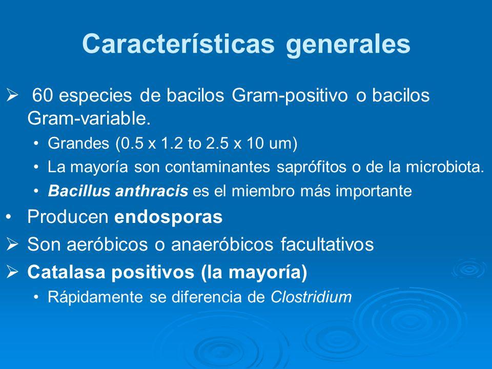 60 especies de bacilos Gram-positivo o bacilos Gram-variable. Grandes (0.5 x 1.2 to 2.5 x 10 um) La mayoría son contaminantes saprófitos o de la micro