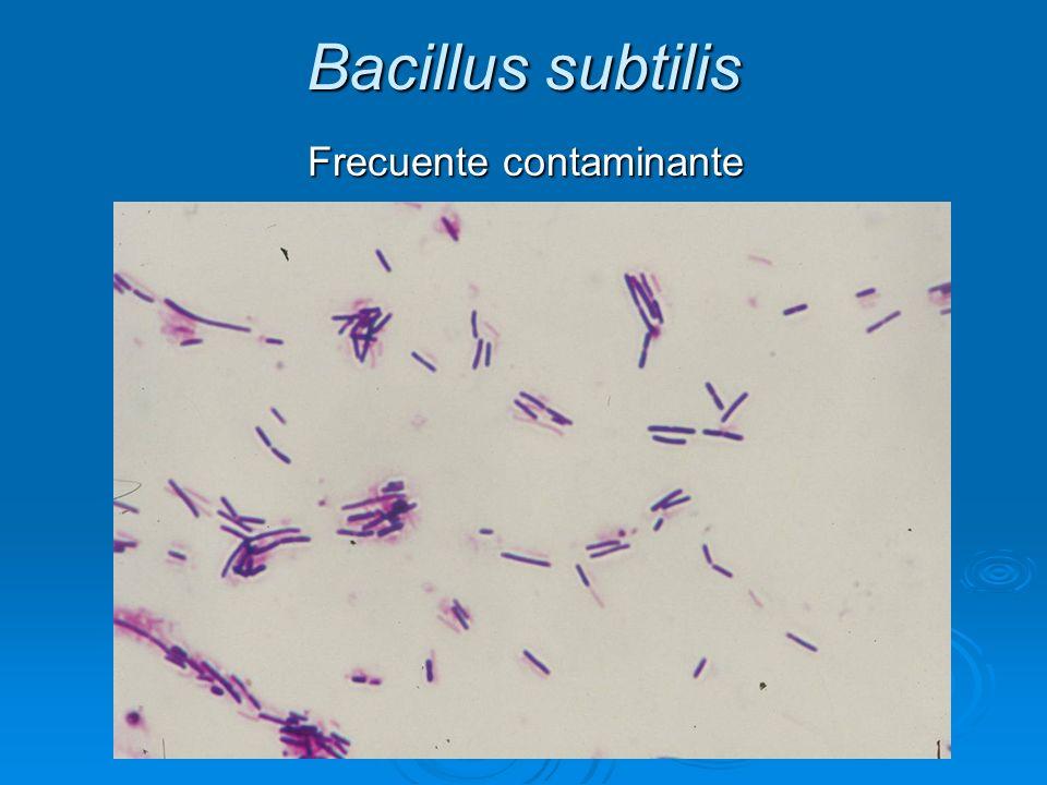 Bacillus subtilis Frecuente contaminante Frecuente contaminante