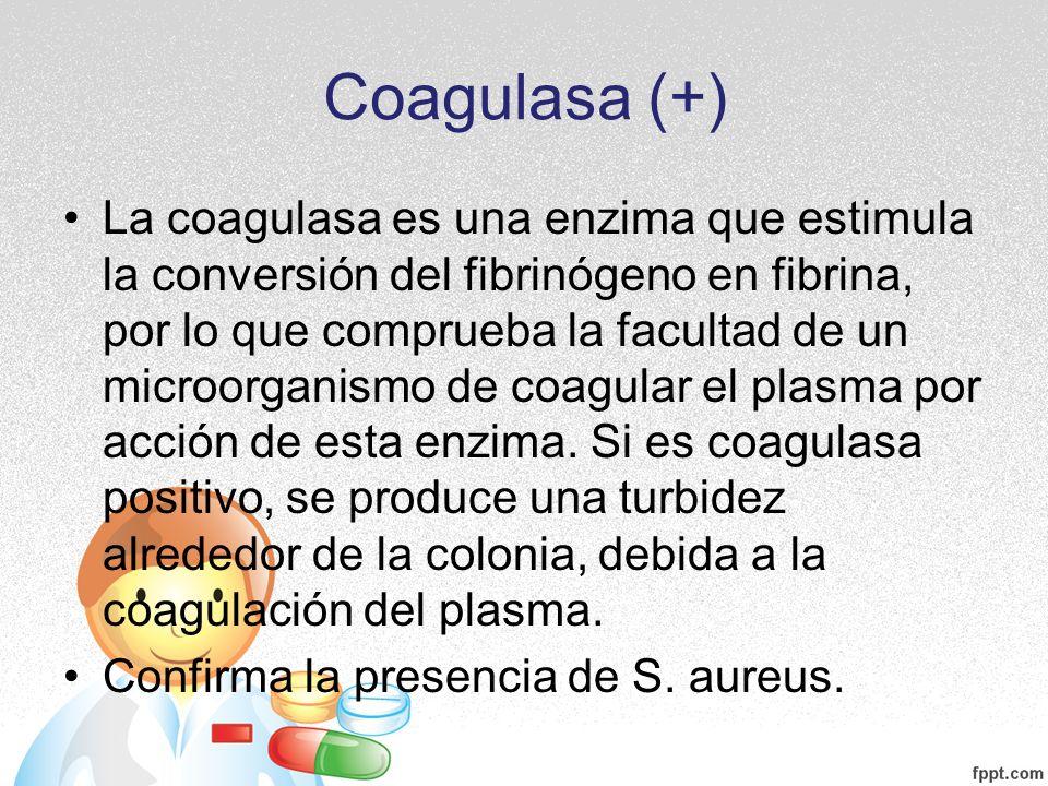 Coagulasa (+) La coagulasa es una enzima que estimula la conversión del fibrinógeno en fibrina, por lo que comprueba la facultad de un microorganismo